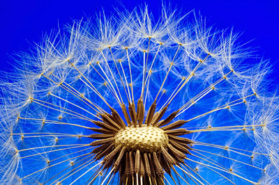 dandelion root is a natural diuretic
